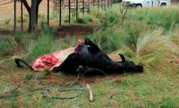 El trabajo de un grupo de científicos del Conicet se vio seriamente perjudicado luego de que apareciera faenada la vaca en la que probaban una nueva vacuna Foto:infocampo