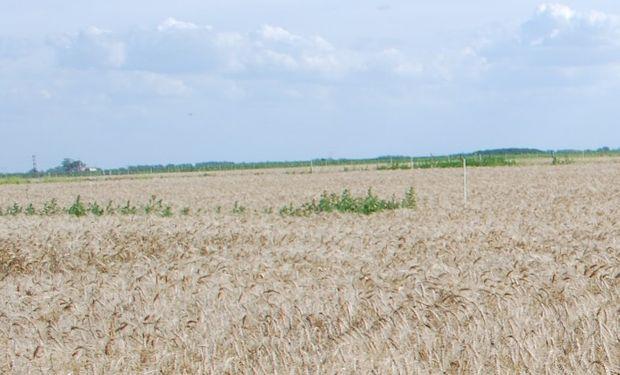 Las malezas en el barbecho y cultivo de trigo.