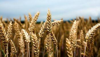 Cae el volumen de futuros de trigo negociados