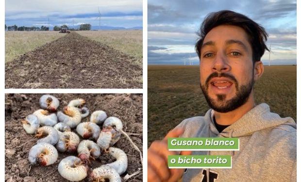Gusano blanco: qué hacer con la amenaza de los cultivos de invierno