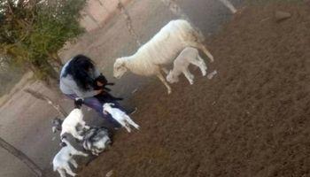 Sorpresa en Santiago del Estero: nació un cordero con seis patas