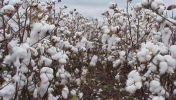Formosa: la lluvia atrasa la cosecha de algodón