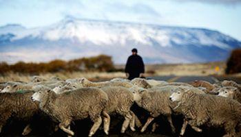 Cayó un 40% la exportación del cordero patagónico