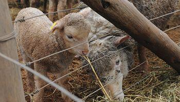 Corderos: potenciar su producción con una alimentación preferencial