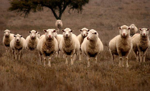Nueva Zelanda está con menos corderos