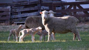 Nacieron los primeros corderos de embriones producidos in vitro