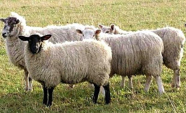 Australia exportó más corderos