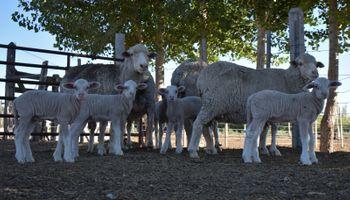 """""""In vitro"""": nacieron cinco corderos patagónicos tras optimizar la tecnología y acortar el proceso"""