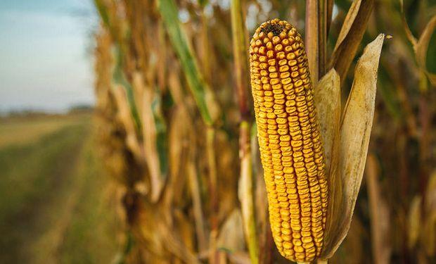 El maíz sigue bajando en Chicago.