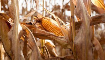 El USDA publicó 4 informes: cómo queda la oferta y demanda de granos