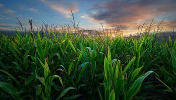 El maíz se recupera en Chicago luego de las bajas de ayer