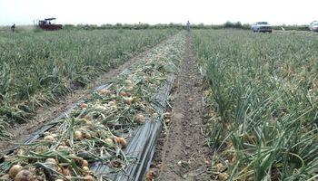 Cebolla argentina: más del 70 % se produce con tecnología del INTA