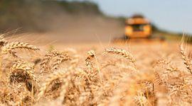 El trigo sube a un máximo de tres meses por los problemas para la cosecha