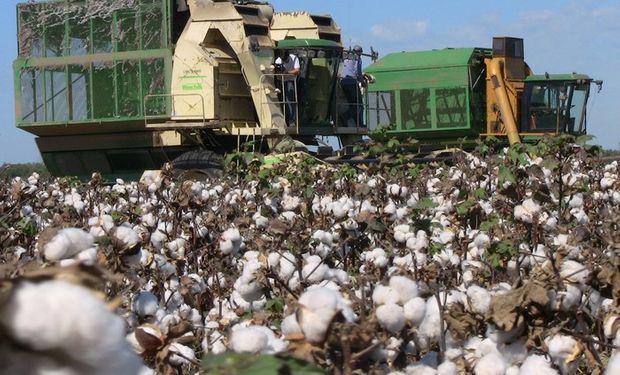 La caída del precio, frenó la cosecha del algodón