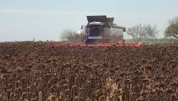 Las 4 recomendaciones para la cosecha de girasol en condiciones adversas