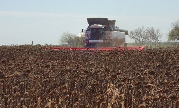 Recomendaciones del INTA para iniciar la cosecha de girasol.