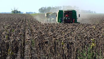 Girasol: se cosechó 13% de área apta