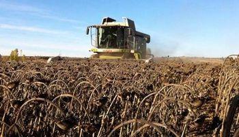 """Video: cosecha de girasol """"acuático"""" en Santa Fe"""
