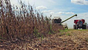 """""""Se cosechan granos de soja de mala calidad"""""""