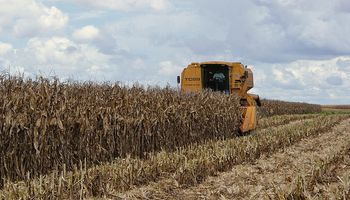 Comenzó la cosecha de maíz de primera