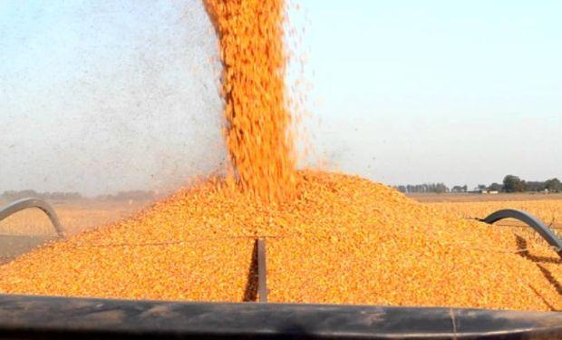 La continuidad de la recolección de los maíces de segunda se complicó y así se prolonga su finalización.
