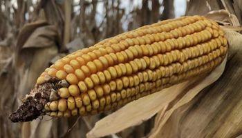 Se acelera la cosecha de maíz: ya se vendió un 70 % del cereal recolectado