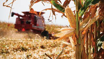 La cosecha de maíz se atrasa y provoca pérdidas
