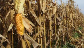 La cosecha de maíz entró en la recta final: destacan excelentes rindes en la provincia de Córdoba