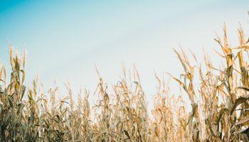 Maíz tardío: ¿cosechar y pagar gastos de secado o esperar con el cultivo en pie hasta fin de julio o agosto?