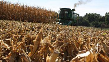 Clima permitió avanzar con la cosecha de maíz