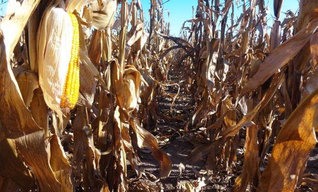 Arranca la cosecha de maíz tardío: cuál es la condición de los cuadros en pie