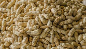 Estiman que la cosecha de maní será un 30% mayor a la de la temporada anterior