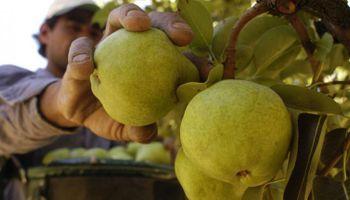 La cosecha de peras está suspendida por un reclamo salarial