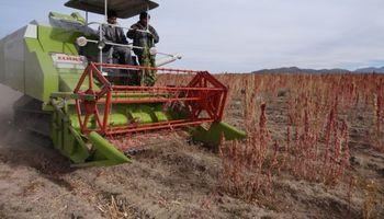 En Bolivia prevén una fuerte baja de la cosecha de quinua