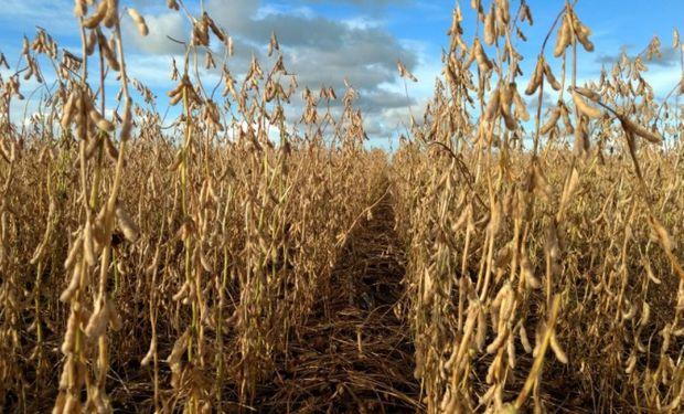 En Brasil apenas se recolectó un 10% de la soja.
