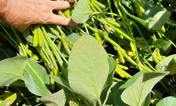Lento arranque para la cosecha de soja en Brasil