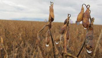 Persisten las dificultades para la cosecha de soja
