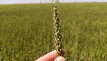 """Contraste y """"resultado excepcional"""": en la zona sur, la cosecha de trigo creció un 54% contra la campaña anterior"""