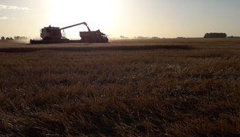 Cosecha de trigo: sobre el sur, rindes notablemente superiores a los del centro