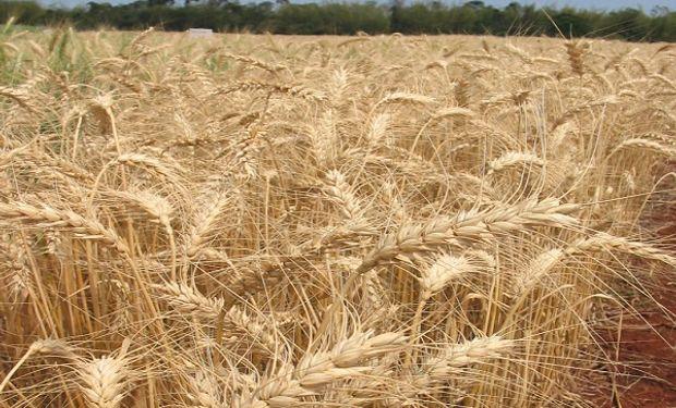 El Gobierno anticipa una caída del 14 % en la cosecha de trigo y una exportación de 10 millones de toneladas