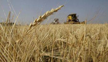 Uruguay: comenzó la cosecha de trigo y la calidad es buena