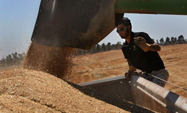En nuestro país la cosecha de trigo logró cubrir el 31 % del área apta.