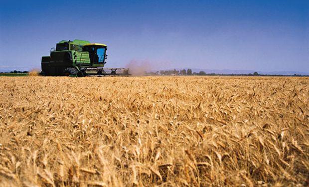 TRIGO. La superficie cosechada equivale al 3,6 % del área apta.