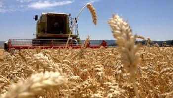 Caen los rindes de trigo en zona núcleo