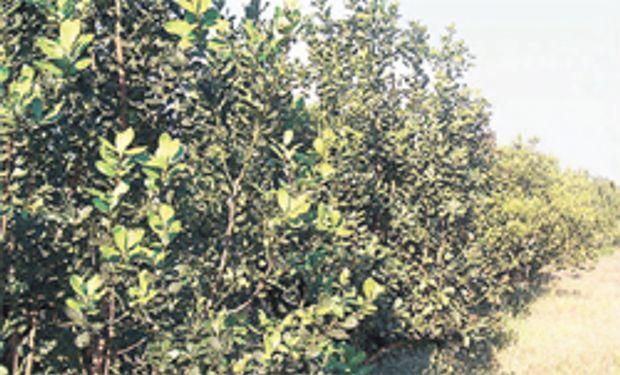 En 2014, la cosecha de hoja de yerba mate puede ser récord
