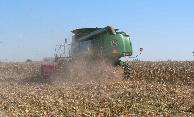 La cosecha de maíz se encuentra en la recta final
