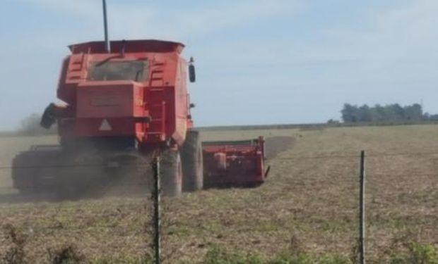 Lote de soja de primera, en pleno proceso de cosecha, en el norte del departamento Las Colonias.-