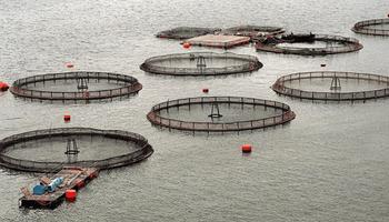 Primer país del mundo: se prohíbe la cría de salmón en Tierra del Fuego