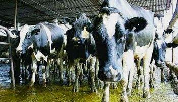"""La política láctea ha destruido la actividad tambera"""
