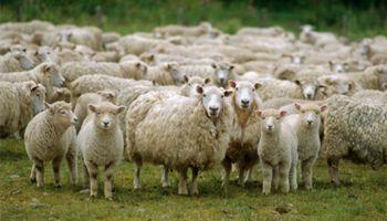 Falta de rentabilidad: el sector ovino está en una crisis profunda